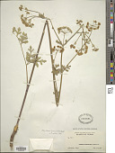 view Polytaenia texana (J.M. Coult. & Rose) Mathias & Constance digital asset number 1