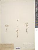 view Habrosia spinuliflora Fenzl digital asset number 1