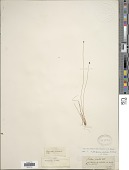 view Eleocharis ovata (Roth) Roem. & Schult. digital asset number 1