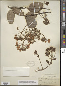 view Stigmaphyllon floribundum (DC.) C.E. Anderson digital asset number 1
