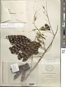 view Piptadenia flava (DC.) Benth. digital asset number 1