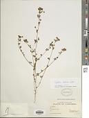 view Trifolium dubium Sibth. digital asset number 1