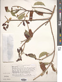 view Ficus pallida Vahl digital asset number 1