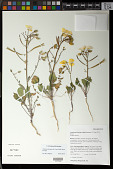 view Chylismia brevipes (A. Gray) J.K. Small subsp. brevipes digital asset number 1