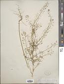 view Descurainia pinnata var. brachycarpa (Richardson) Fernald digital asset number 1