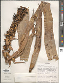 view Werauhia ororiensis (Mez) J.R. Grant digital asset number 1