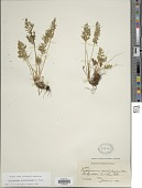 view Cryptogramma acrostichoides Aiton digital asset number 1