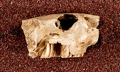 view Plagiodontia ipnaeum Johnson digital asset number 1