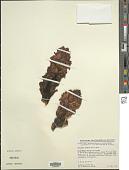 view Cistanche violacea (Desf.) Hoffmanns. & Link digital asset number 1