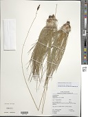 view Bulbostylis lanata (Kunth) Lindm. digital asset number 1