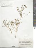 view Limnanthes douglasii var. rosea (Hartw. ex Benth.) Mason digital asset number 1