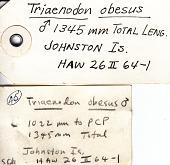 view Triaenodon obesus digital asset number 1
