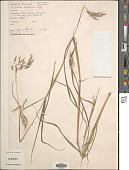 view Euclasta condylotricha (Hochst. ex Steud.) Stapf digital asset number 1