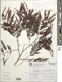 view Parapiptadenia rigida (Benth.) Brenan digital asset number 1