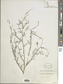 view Indigofera oblongifolia Forssk. digital asset number 1