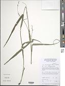 view Scleria microcarpa Nees ex Kunth digital asset number 1