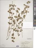 view Chrysosplenium americanum Schwein. digital asset number 1