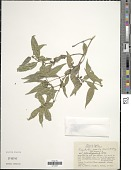 view Psychotria vellosiana Benth. digital asset number 1