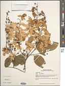 view Cassia fistula L. digital asset number 1