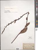 view Verbascum phoeniceum L. digital asset number 1