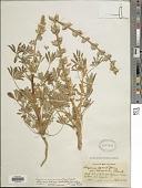 view Lupinus arizonicus (S. Watson) S. Watson digital asset number 1