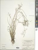 view Fimbristylis littoralis Gaudich. digital asset number 1