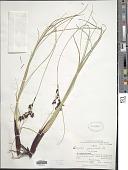 view Schoenus rhynchosporoides (Steud.) Kük. digital asset number 1