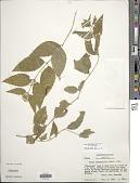 view Calea urticifolia (Mill.) DC. digital asset number 1