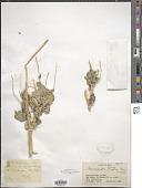view Moricandia sinaica (Boiss.) Boiss. digital asset number 1