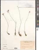 view Allium moschatum L. digital asset number 1
