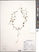 view Peperomia rotundifolia (L.) Kunth digital asset number 1