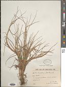 view Paspalum paspalodes (Michx.) Scribn. digital asset number 1