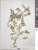view Cardamine griffithii (Thomson) Hook. f. digital asset number 1