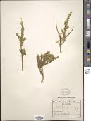 view Polygala petraea Schltr., ined. digital asset number 1