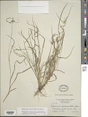 view Rhynchospora radicans subsp. microcephala (Bertero ex Spreng.) W.W. Thomas digital asset number 1