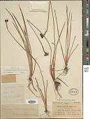 view Sisyrinchium longipes (E.P. Bicknell) Kearney & Peebles digital asset number 1