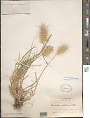 view Cenchrus longisetus M.C. Johnst. digital asset number 1