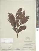view Psychotria luzoniensis (Cham. & Schltdl.) Fern.-Vill. digital asset number 1
