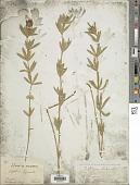 view Trifolium lupinaster L. digital asset number 1