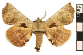 view Spotted Apatelodes Moth digital asset number 1