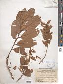 view Engelhardia spicata var. colebrookeana Koord. & Valeton digital asset number 1