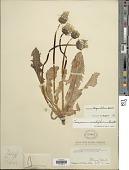 view Taraxacum trigonolobum Dahlst. digital asset number 1