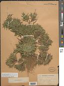 view Dichanthelium meridionale (Ashe) Freckmann digital asset number 1