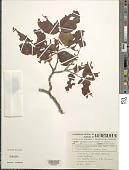 view Copaifera pubiflora Benth. digital asset number 1