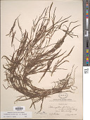view Potamogeton foliosus Raf. var. foliosus digital asset number 1