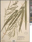 view Phanopyrum gymnocarpon (Elliott) Nash digital asset number 1
