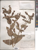 view Escobedia grandiflora (L. f.) Kuntze digital asset number 1