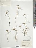 view Cyperus flavescens L. digital asset number 1