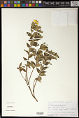 view Aspilia fruticosa (Gardner) Baker digital asset number 1