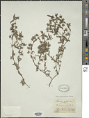 view Trichodesma zeylanicum (Burm. f.) Aiton digital asset number 1